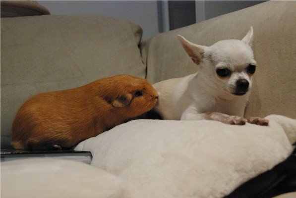 chihuahua & crested guinea pig
