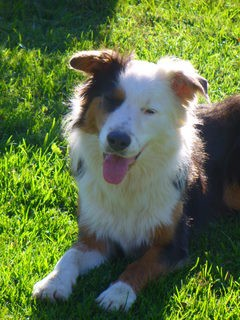 3/4 border collie 1/4 koolie