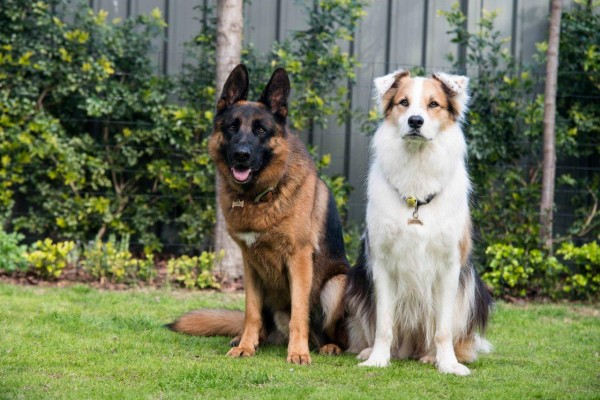 German Shepherd and Australian Shep X