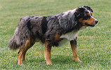 Blue merle, with brown points, short coat, brown eyes, dropped ears Views: 1658 Rating: 4.67/5 Date: 05.02.04 280x177 (31.1 KB)