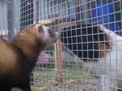 ferret and guniea pig