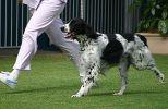 Sydney Royal 2004 - BOB (Open Dog) Views: 555 Rating: 0/5 Date: 18.04.04 400x259 (39.0 KB)