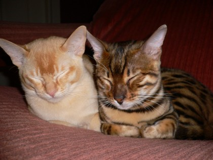 Bengal and Burmese