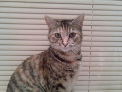 Tabby, Short hair tortoise shell..