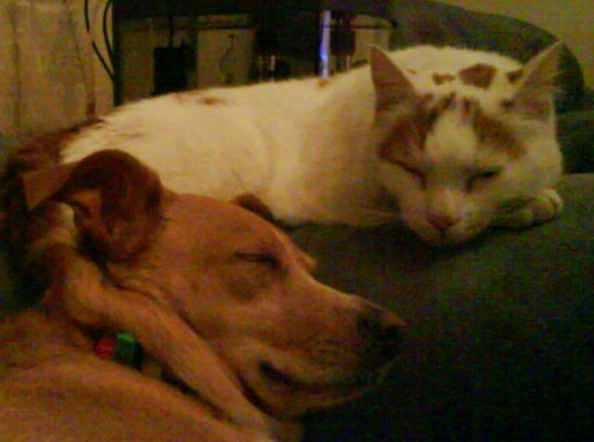 Domestic Cat and Staffy Cattle Dog Cross