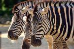 Taronga Zoo Views: 386 Rating: 5/5 Date: 25.08.09 901x600 (296.3 KB)