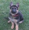 Our German Shepherd Views: 895 Rating: 4.96/5 Date: 05.02.04 269x280 (33.7 KB)