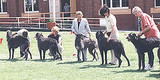 A line up of Deerhounds at their 2000 open show. Views: 561 Rating: 3.67/5 Date: 05.02.04 300x150 (26.3 KB)