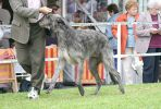 Pictured at the Deerhound Club of Victoria open show 2004. Views: 559 Rating: 5/5 Date: 01.06.04 400x269 (41.1 KB)